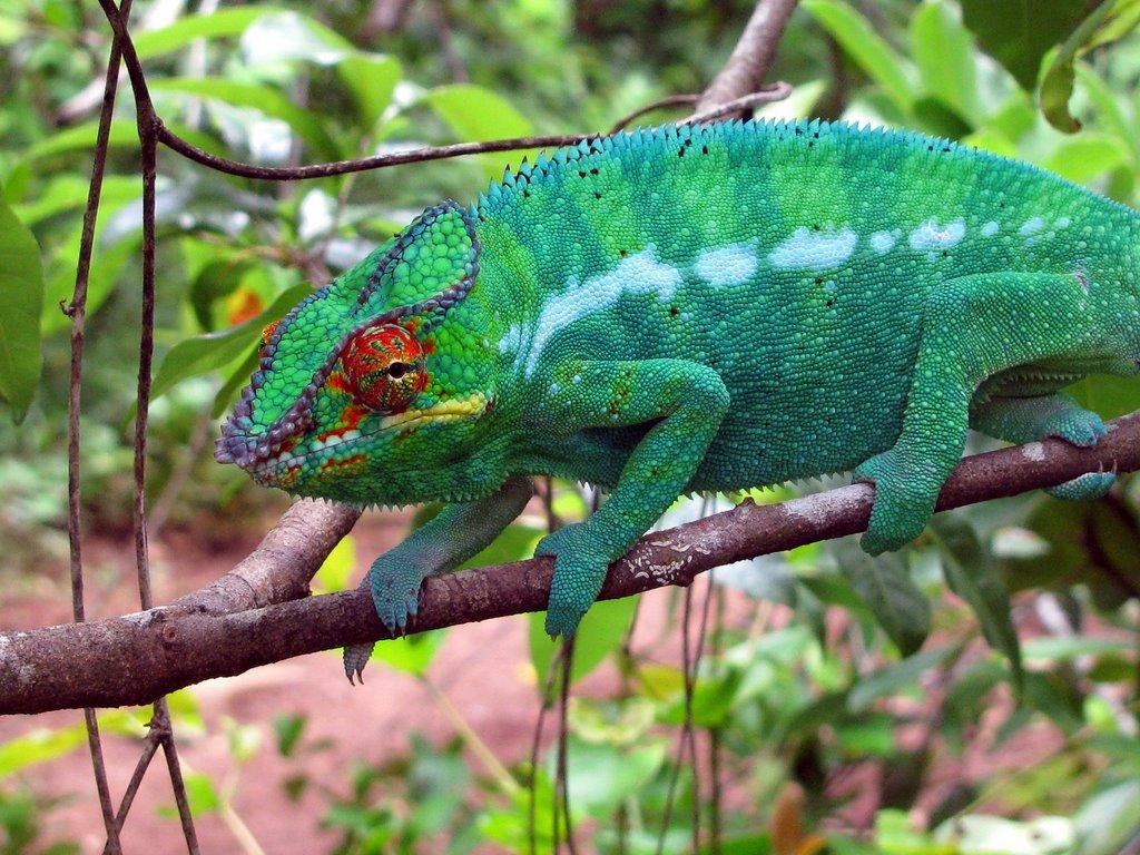 Camaleonte - Madagascar